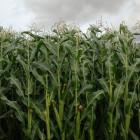 В Пензенской области появится новый гибрид кукурузы