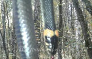 Змея-убийца или грибник-живодер? Пензенцы обсуждают фотографии диковинного пресмыкающегося, обнаруженного в лесу