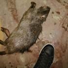 Житель Пензы нашел в доме на улице Ленина труп восьмикилограммовой крысы