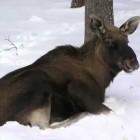 Зареченские браконьеры, отрезавшие голову лосенку, ушли от уголовной ответственности