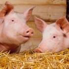 Группа «Черкизово», чей комплекс находится в Пензенской области – в тройке лидеров по производству свинины