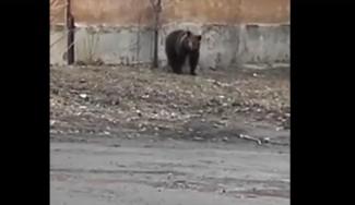 Медведь из Пензы не на шутку испугал жителей Челябинска