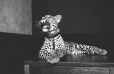 Посетители одного из пензенских заведений провели незабываемую ночь с леопардом