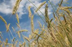 На сегодняшний день в Пензенской области засеяно почти 30 тыс. гектаров земли