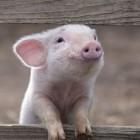 Разводить свиней небезопасно? Жительница Пензы попалась на уловку мошенника