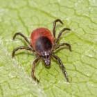 Количество укушенных клещами в Пензенской области значительно увеличилось за неделю
