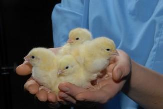 На Васильевской птицефабрике кур забивают с молитвой