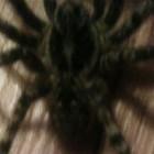 Пензенцы всерьез напуганы фотографией с пауком громадных размеров