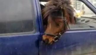 В Пензенской области физическое лицо перевозило быка и лошадь без документов