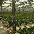 «Розы Бочкарева увяли». Тепличные комплексы в Иссе и Нижнем Ломове банкротят налоговики