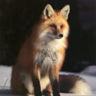 Никольский лесхоз объявил вознаграждение за убитых лисиц