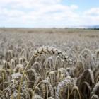 Ведущий инвестор Пензенской области промахнулся с безопасностью зерна