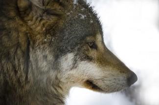 Областной Минлесхоз сообщил о волках, представляющих угрозу населению