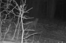 В Пензенской области камера сняла момент «тихой охоты» опасного хищника