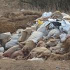 Россельхознадзор: «Свиней в зоне действия телегинского очага АЧС уничтожали правильно»