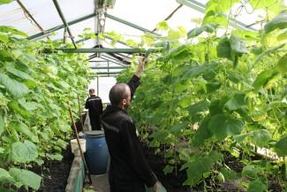 Пензенские заключенные собрали первый урожай огурцов