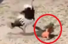 Птица против человека. Неадекватный страус, терзавший пензенца, попал на видео