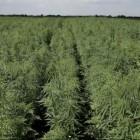 Губернатор : «Выращивание технической конопли поможет импортозамещению в Пензенской области»