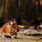 В Пензенскую область пришла опасная форма мышиной лихорадки