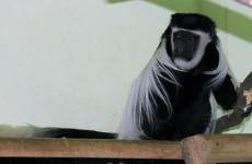 Старейшая обезьяна из пензенского зоопарка празднует юбилей
