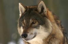В пензенском зоопарке прошло показательное кормление волков