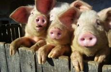 Жители Рязани снова смогут покупать пензенскую свинину