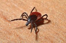 В Пензенской области около 600 человек пострадали от укусов клещей