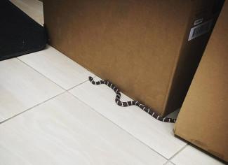 Змеи атакуют. В квартиры пензенцев неизвестным способом пробираются рептилии
