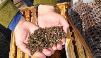 Экологическая катастрофа? В России массово исчезают пчелы