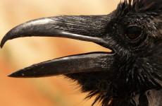 В Пензенской области с агрессивными воронами боролись спасатели