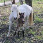 В пензенском зоопарке жеребенок пони скончался от переедания