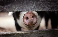 Серьезный пожар в Пензенской области уничтожил 40 голов свиней