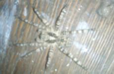 К жительнице Пензенской области приползли ядовитые пауки