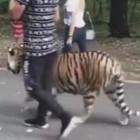 Прогулка с тигром. Пензенцев шокировал расхаживающий по улице хищник
