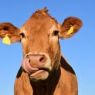 Без вести пропавших в Оренбурге коров нашли под Пензой