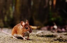 В Пензенской области участились случаи заражения мышиной лихорадкой