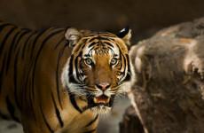 Пензенцев приглашают на обед к амурским тиграм