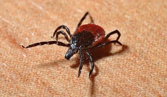 В Пензенской области 913 детей пострадали от укусов клещей