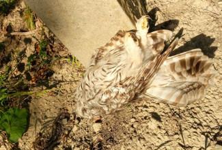 В Пензе садовое товарищество ответит за смерть краснокнижной птицы