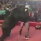 Медведь набросился на дрессировщика пензенского шапито прямо во время выступления. ВИДЕО