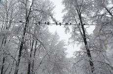 «Дерево держится на проводах». Пензенец предупредил горожан об опасности