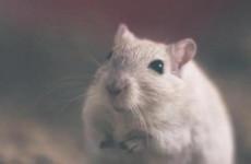 С начала года 660 пензенцев заболели мышиной лихорадкой