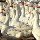 Пожар в Пензенской области уничтожил 40 голов домашней птицы и 5 коз