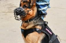 Морда, зубы, лапы, хвост... Какие собаки прошли фейсконтроль в пензенской полиции