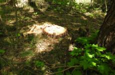 Житель Пензенской области дорого заплатит за срубленное дерево