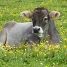 Для жительницы Пачелмского района покупка коровы обернулось потерей денег