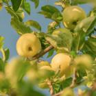 Поход за яблоками окончился для пензячки закапыванием трупа