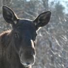 В Пензенской области убили лосиху