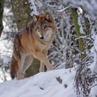 В Лунинском районе провели мероприятие по регулированию численности волков