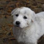 В Пензенской области у девушки украли щенка, пока она была в магазине